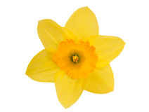 Yellow daffodil. With leaves and stem isolated on white background stock photos