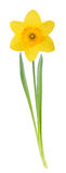 Yellow daffodil. With leaves and stem isolated on white background royalty free stock images