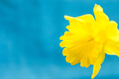 Yellow daffodil on light blue background, macro, abstract, copyspace for text, greeting card template royalty free stock photos