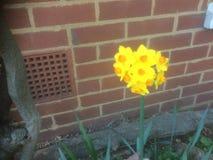 Yellow daffodil. Multiple headed daffodils Royalty Free Stock Photo