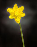 Yellow daffodil (narcissus) flower, close up, black gradient background Royalty Free Stock Photos