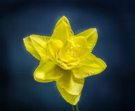 Yellow daffodil (narcissus) flower, close up, black gradient background Royalty Free Stock Image