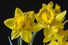 Yellow daffodil Stock Image
