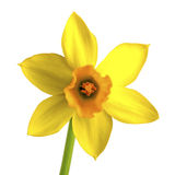 Yellow daffodil, narcissus isolated on white Royalty Free Stock Image