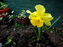 Yellow daffodil. Photo of a yellow flower puffed in a garden Royalty Free Stock Photos