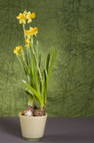 Yellow daffodil in a pot Royalty Free Stock Image