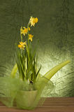 Yellow daffodil in a pot Royalty Free Stock Photography