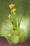 Yellow daffodil in a pot Stock Images