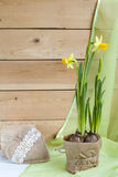 Yellow daffodil and in pot and handmade Valentines Day hearts on a light wooden background Stock Photo