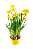 Yellow daffodil in pot isolated on white Royalty Free Stock Photos
