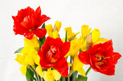 Yellow daffodil and red tulip Stock Photos