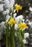 Yellow daffodil in the snow Stock Photography