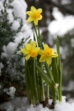 Yellow daffodil in the snow Royalty Free Stock Images