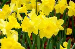 Yellow Daffodil in the spring garden. Stock Photos