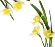 Yellow daffodil Stock Images