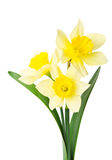 Yellow daffodil Stock Photography