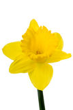 Yellow Daffodil on white Royalty Free Stock Photo