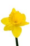 Yellow Daffodil on white Royalty Free Stock Photo