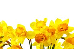 Yellow daffodils. Isolated over the white background stock photography