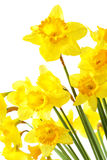 Yellow daffodils. Isolated over the white background stock image