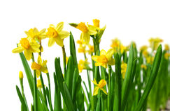 Free Yellow Daffodils Royalty Free Stock Photos - 13472368