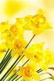 Yellow daffodils. Over blurry background royalty free stock photos