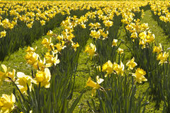 Yellow daffodils. In a green field Stock Images