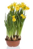 Yellow daffodils. Yellow flowers, isolated on a white background Royalty Free Stock Image