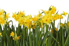 Yellow daffodils. Yellow flowers, isolated on a white background Stock Photo