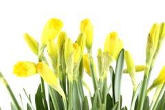 Yellow daffodils Royalty Free Stock Photos
