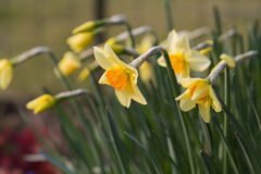 Free Yellow Daffodils Royalty Free Stock Image - 40019346