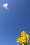 Yellow daffodils. Daffodils over a  blue sky, and a little cloud Stock Images
