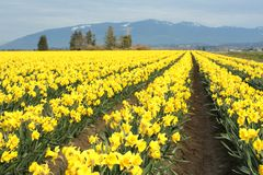 Yellow daffodils. Field Stock Photography