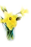 Yellow Daffodils. Arranged in a glass of water stock photography