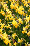 Yellow Daffodils. Filed of Yellow Daffodils Royalty Free Stock Photo