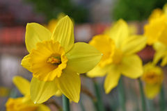 Yellow Daffodils. Pretty flowers in the garden royalty free stock images
