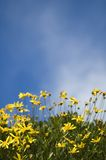 Yellow daffodils against sky. Yellow daffodils against blue sky Royalty Free Stock Images