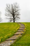 Yellow daffodils along a path. Royalty Free Stock Image