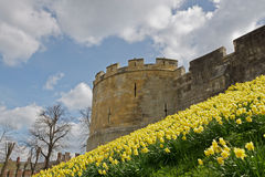 Yellow Daffodils. Around a Castle Wall on a Sunny Spring Morning Stock Image