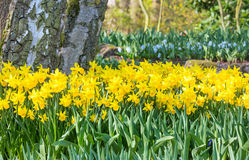Yellow daffodils Stock Photography