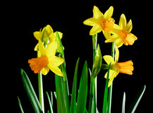 Yellow daffodils on black Stock Photography