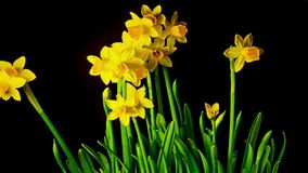 Yellow daffodils bloom, time-lapse. Yellow daffodils bloom, time - lapse stock video