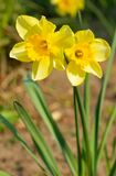 Yellow Daffodils Bloomed Royalty Free Stock Images