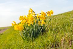 Yellow daffodils blooming in the wild. Yellow flowering daffodils blooming in the wild on the slope of a Dutch  embankment. It is early in the morning of a sunny Stock Photos
