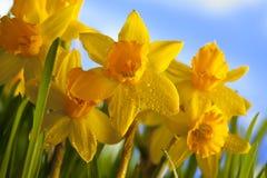Yellow daffodils Stock Photography