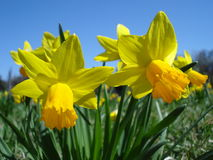 Daffodils. Yellow daffodils on blue spring sky Royalty Free Stock Images