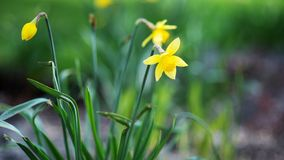 Yellow daffodils on a blurred background stock images