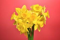 Yellow daffodils Stock Photos