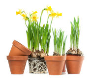 Spring Flowers - Daffodils and Plant Pots Royalty Free Stock Images