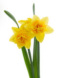 Yellow daffodils close up. Isolated on white background Royalty Free Stock Photos
